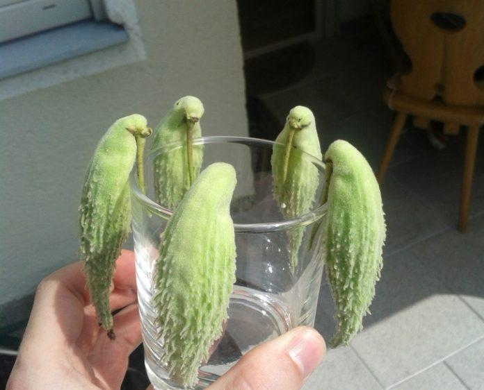 gousses-d-asclepiade-ressemble-a-une-perruche