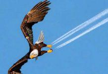 aigle-americain